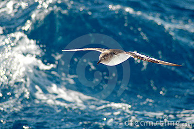 Petrel antártico