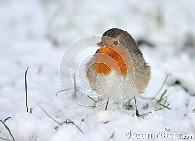 Pettirosso sveglio su neve in inverno fotografie stock - Animali in inverno clipart ...