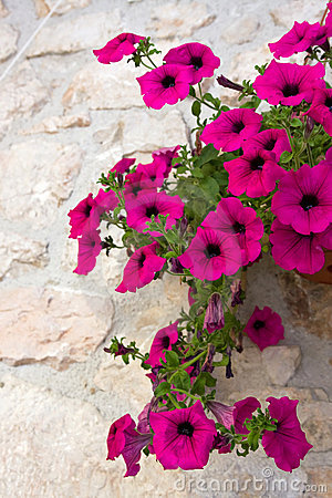 Free Petunia Flower Royalty Free Stock Photography - 5282217