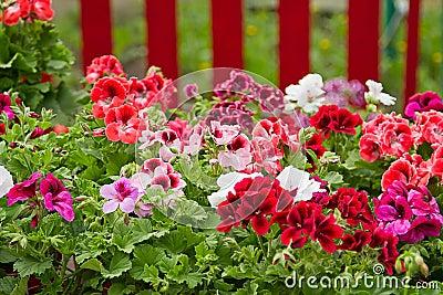 Petunia Flower Bed