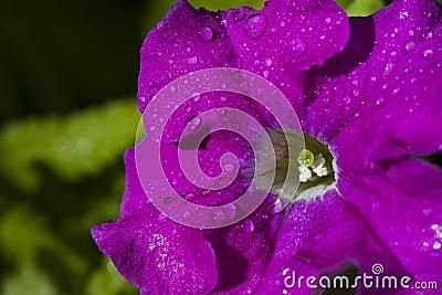 Petunia flower big
