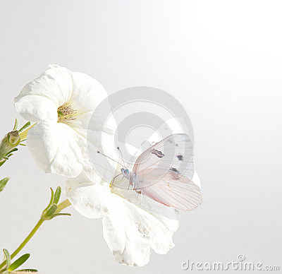 Petunia flowers with Checkered White butterfly