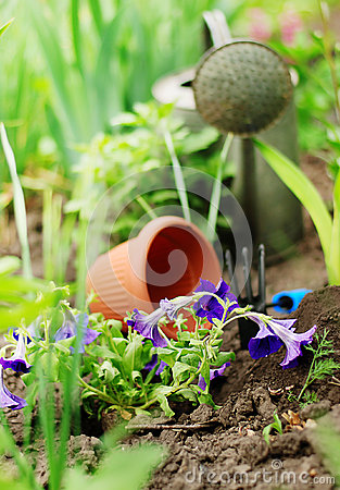 Petunia flowers on garden bed