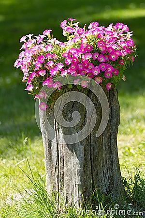 Petunia flowers grow on a stump