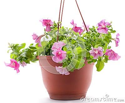 Petunia pot