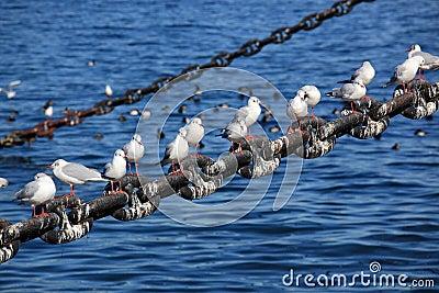Pewit gull