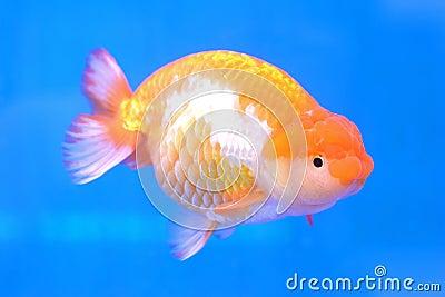 Goldfish quedando en el fondo del tanque