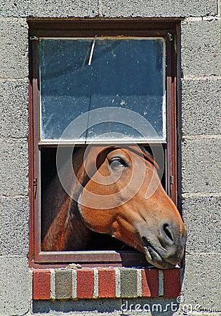 Pferd im Fenster