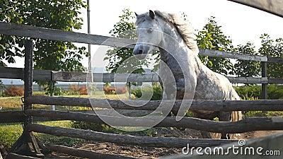 Pferd läuft auf dem Sand und springt durch eine Sperre Training des weißen kleinen Ponys Zeitlupe, Abschluss oben stock video footage