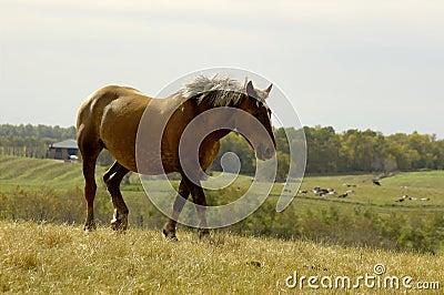 Pferden-Trotten