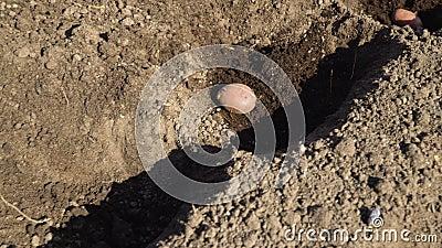 Pflanzen von Kartoffeln in den Boden stock video