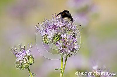 Цветок и пчела Phacelia