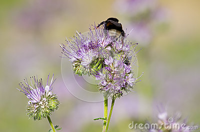 Phacelia flower and bee