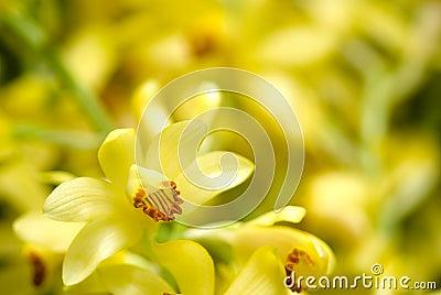 Phaius flavus flower