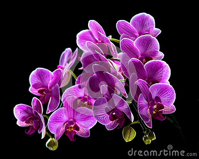 Phalaenopsis. Colorful pink orchid