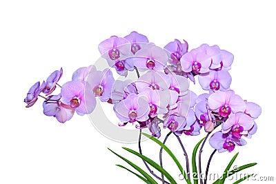 Phalaenopsis Ho s Happy Auckland