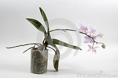 Phalaenopsis orchid (butterfly orchid)