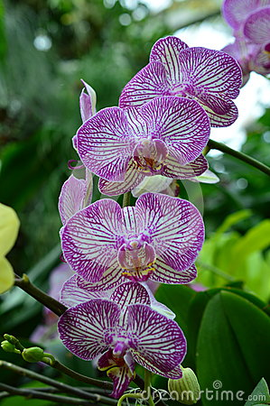Chicago Botanic Garden Orchid Show Stock Photo Image 55821172