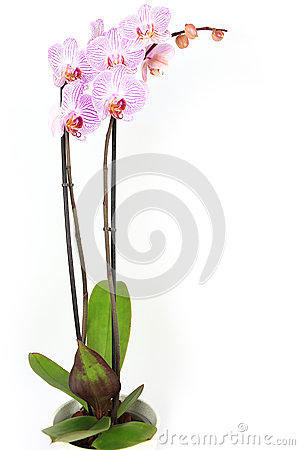 Free Phalaenopsis Orchid Potted Isolated Stock Photos - 48849923