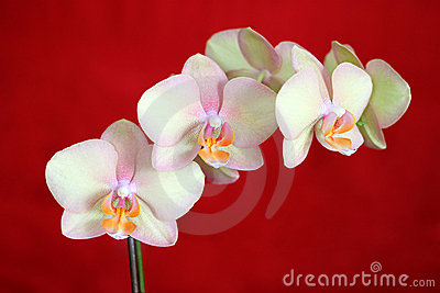 Phalaenopsis Orchid on red