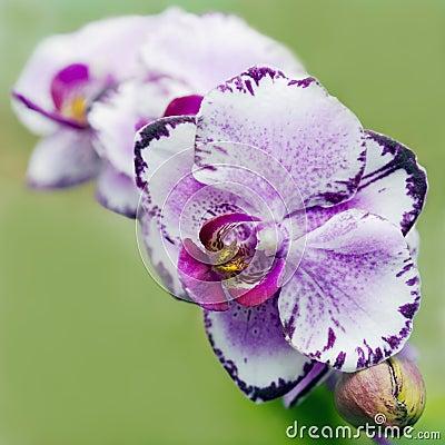 phalaenopsis orchideen lizenzfreie stockfotografie bild. Black Bedroom Furniture Sets. Home Design Ideas