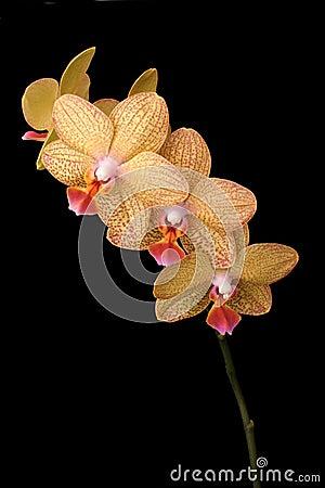Free Phalenopsis Stock Photography - 4618302