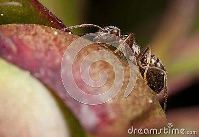 Pharaoh ant closeup