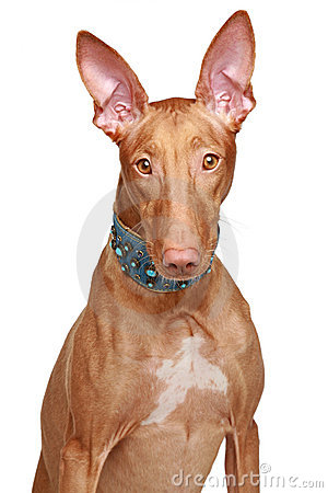 Pharaoh hound in collar on a white background