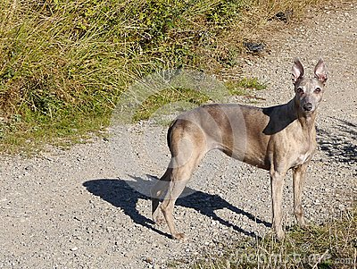 Pharaoh Hound stood on gravel path