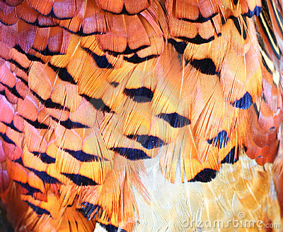 Pheasant feather background