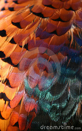 Free Pheasant Feathers Royalty Free Stock Images - 602939