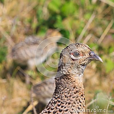Pheasant female bird with juvenile