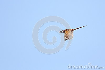 Pheasant flying in the sky