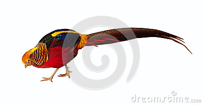 Pheasant. Isolated over white