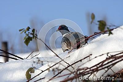 Pheasant male, Phasianus colchicus mongolicus