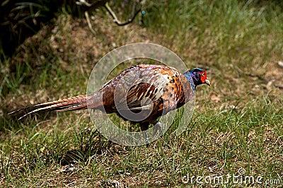 Pheasant [Phasianus colchicus]