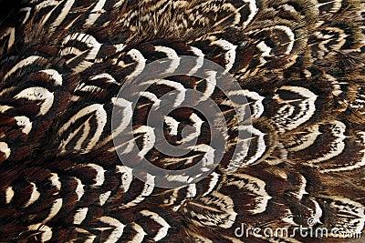 Pheasant wing plumage