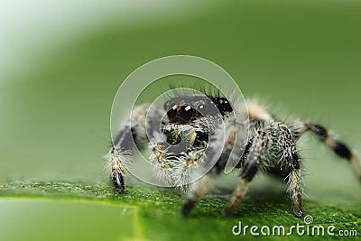 Phidippus Regius Jumping Spider