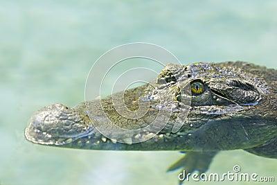 Philippine crocodile  lurks