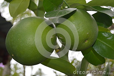 Philippine native Pomelo - scientific name Citrus maxima