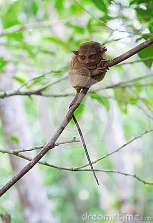 Free Philippine Tarsier In The Woods Royalty Free Stock Image - 29329966