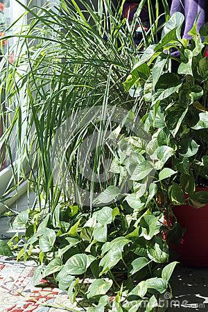 Philodendron and Lemongrass Plants in a Sunny Window
