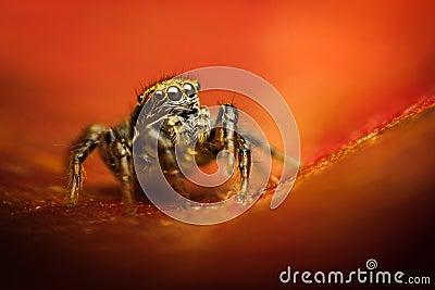 Phlegra fasciata spider