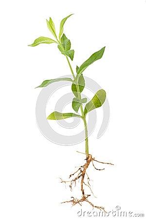 phlox de pousse de plante verte photo libre de droits image 31486155. Black Bedroom Furniture Sets. Home Design Ideas