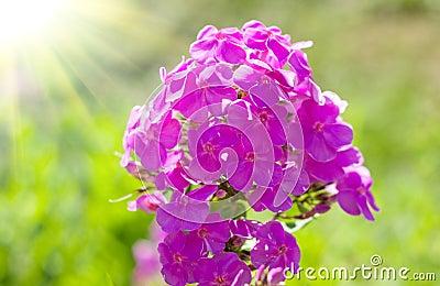 Phloxes pink flower