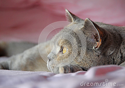 British shorthair cat face side profile