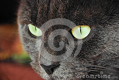Photo of cat yellow-gray eyes