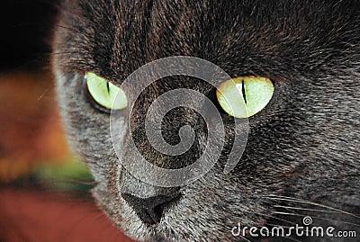 Photo of cat yellow-gray eyes