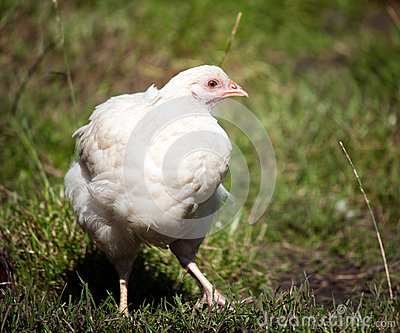 Photo of a Chicken