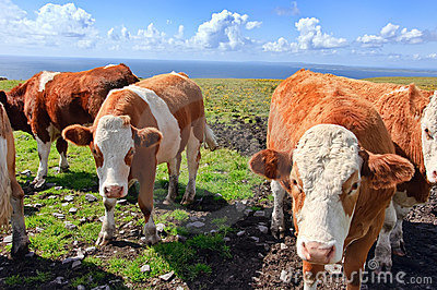 Photo of cows/bulls over looking the ocean